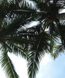 随处可见美丽的椰子树