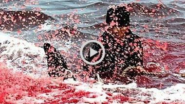 护鲸大战:日本每季捕鲸达千条