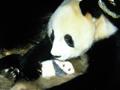 揭秘熊猫野生生活
