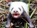 《熊猫列传》简介
