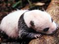 野生大熊猫纪实