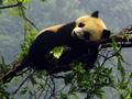 野生大熊猫精彩剧照