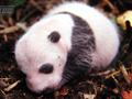 熊猫的进化历史