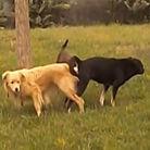 三只狗奇怪动作疑交配
