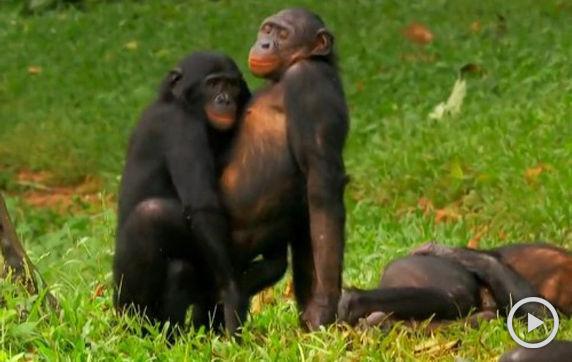 实拍:两猩猩奇怪姿势草地玩耍