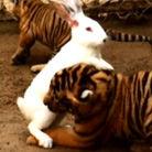 大白兔吓住幼年东北虎