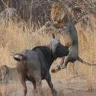狮子情侣秀恩爱遭水牛顶飞