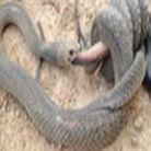 两条剧毒王蛇亡命互吞