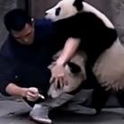 熊猫宝宝夹击饲养员
