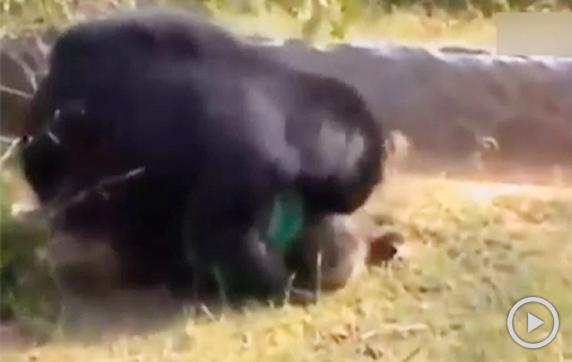 实拍印度男遭黑熊啃食