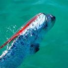 墨西哥现4.5米活体地震鱼