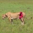 母狮遭水牛攻击皮开肉绽