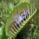 食虫植物吞食昆虫全程