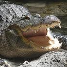 澳洲鳄鱼体内现人体残骸