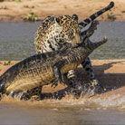 巴西美洲豹大战鳄鱼