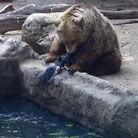 实拍灰熊伸掌搭救乌鸦
