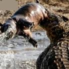 巨鳄叼小河马在嘴中耍弄