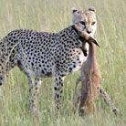 实拍:猎豹秒杀黑斑羚
