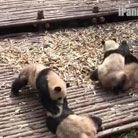 监拍熊猫打群架见谁咬谁
