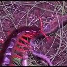 实拍巨型蜈蚣猎杀毒蛇