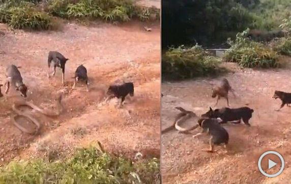 实拍五只小狗群战眼镜蛇