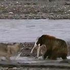 实拍小熊激战4条饿狼