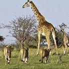 群狮扑杀长颈鹿被踢飞