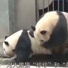 实拍熊猫交配罕见画面