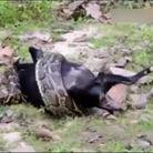 实拍3米巨蟒吞食黑山羊