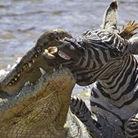 实拍巨鳄一口吞下斑马头